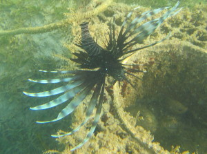 This lion fish was hanging out next to this abandoned trap and snacking on things coming in and out.
