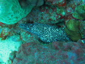 A Spotted Moray Eel that Captain Crunch found for us.