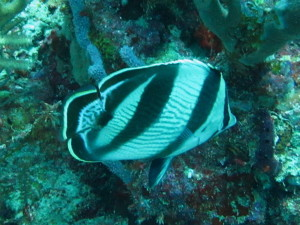 A Banded Butterfly Fish.