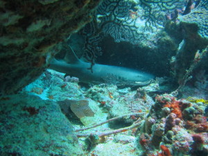 There were several sharks napping under the rocks at our dive site. No mom, these are not the kind that pose a threat.