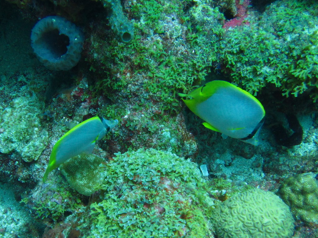 These Spotfin Butterflyfish are playing tag.