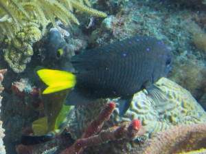 Pretty sure this is a Yellowtail Damselfish.