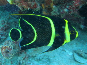 A juvenile French Angelfish. The pattern is totally different on the adults according to our guide, but the ones we saw were quite large.