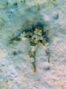 Flying Gurnard with wings closed.
