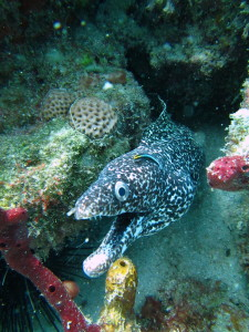 Our very favorite Spotted Moray so far. I don't think he liked me.
