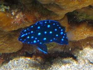 Juvenile means 'baby.' This is a juvenile Yellowtail Damselfish