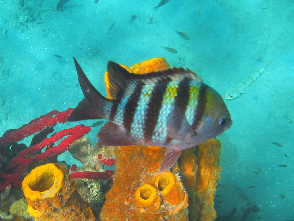 These fish are actually named Sergeant Majors, but their stripes remind us of zebras in the zoo.