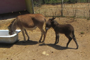 It is hard to believe that this is a 2 week old donkey. Momma mia!