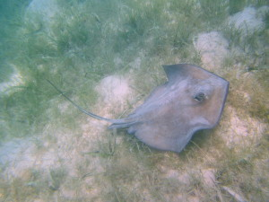 Cost to go snorkeling and see this ray... free. So much better than Stingray City.
