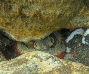 It is much more common to find Mr. Octopus peaking out of a hole surrounded by clam shells and crab bits.