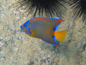 This queen angel fish was not shy at all.