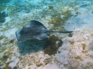 Stingrays just love hanging out under our boat.