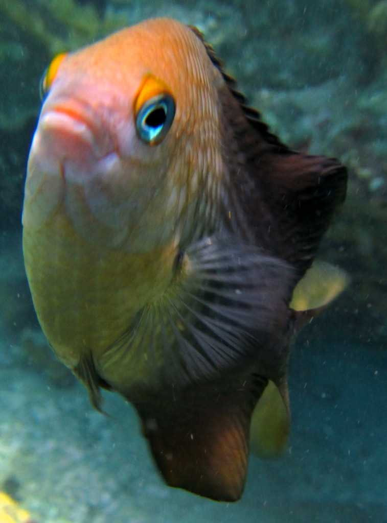 Damselfish are grouchy. They will nip at you if they think you are too close to their homes. This Threespot Damselfish doesn't like visitors.