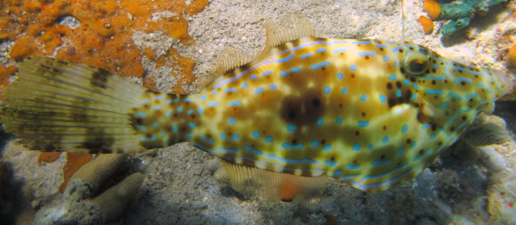 This is a Scrawled Filefish. It can change color to blend in with its surroundings, but it doesn't. It likes to stand out.