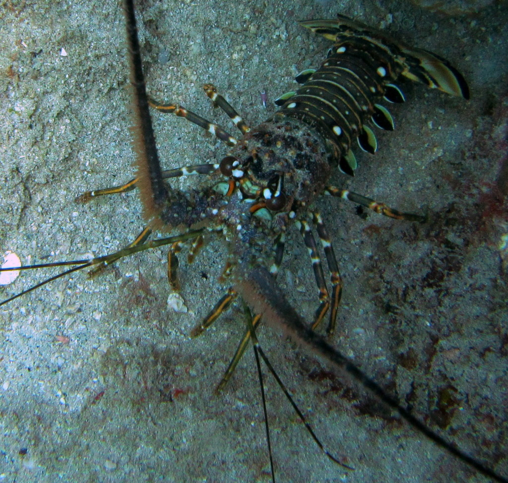 Caribbean Spiny Lobsters don't have big front claws. They like to hide under rocky ledges, but you can spot their long antenna poking out.