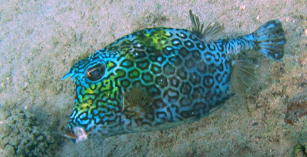 Honeycomb cowfish have thick skins so nobody wants to eat them. They aren't afraid of anything.