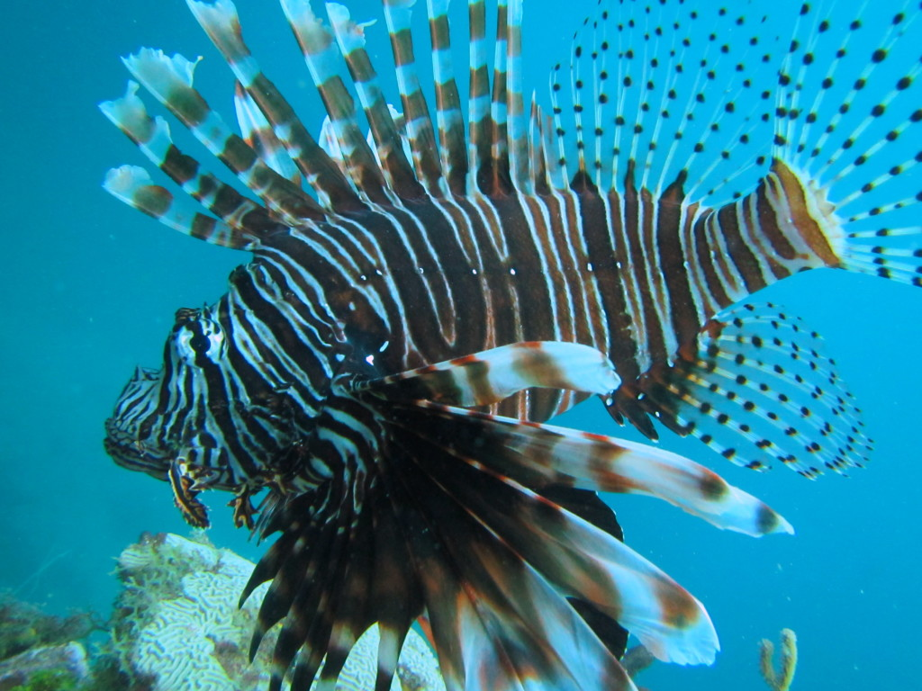Lionfish are pretty, but poisonous. Don't touch! Lionfish are an 'invasive species.' That means they are bad for the reef.