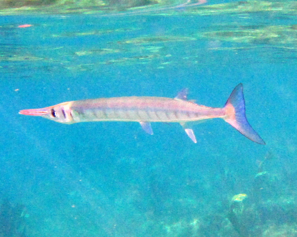 Needlefish have long pointy noses. They like to swim close to the surface of the water, looking for little fish and shrimp to eat.