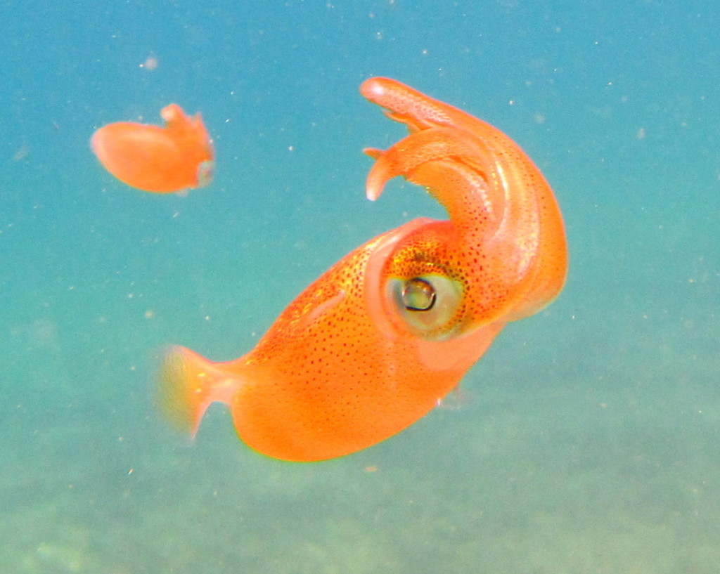 Caribbean Reef Squid change color when they get excited.
