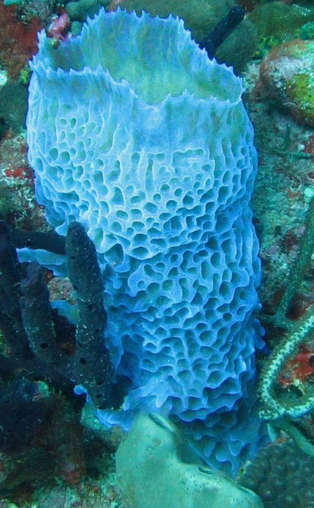 Vase Sponges come in all sizes and colors. Lots of creatures like to hide inside them, so take a peek!