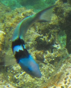 Wrasse is a group of small, brightly colored fish that dart through the reefs. This is a Bluehead Wrasse.
