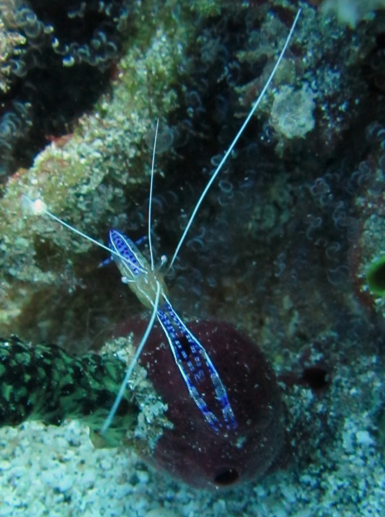 Coral shrimp keep the reef tidy.