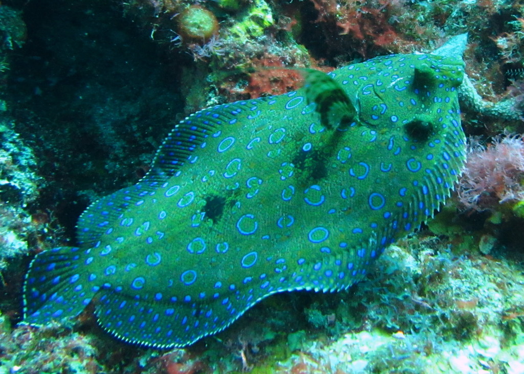 Flounder are bottom dwellers with both eyes on the one side of their body.