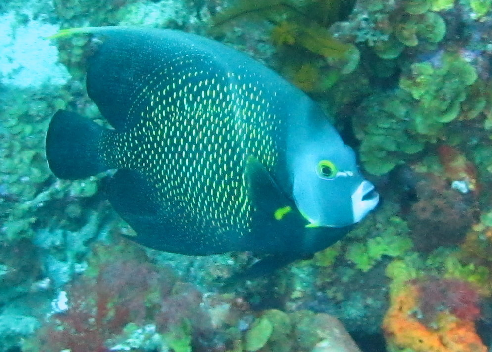 Adult French Angelfish