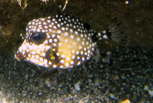This is a juvenile Spotted Trunkfish.