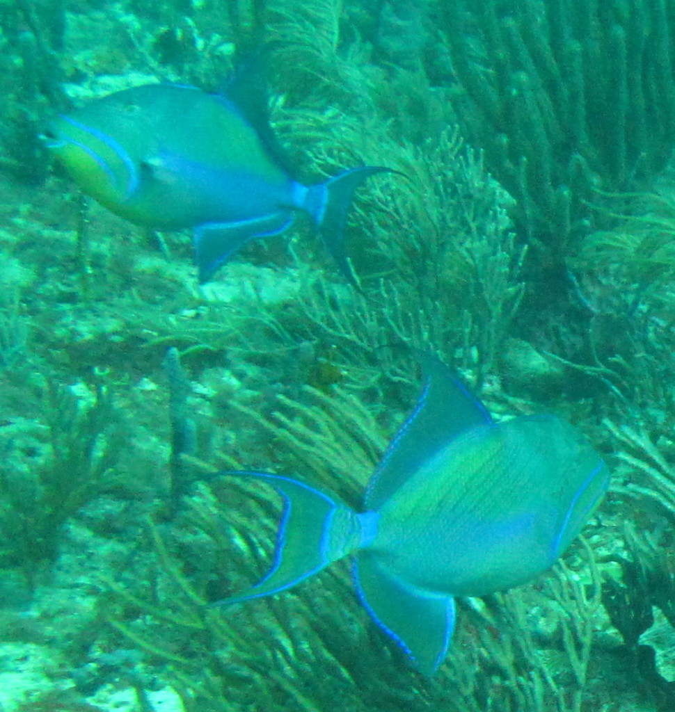 Queen triggerfish like to eat sea urchins.
