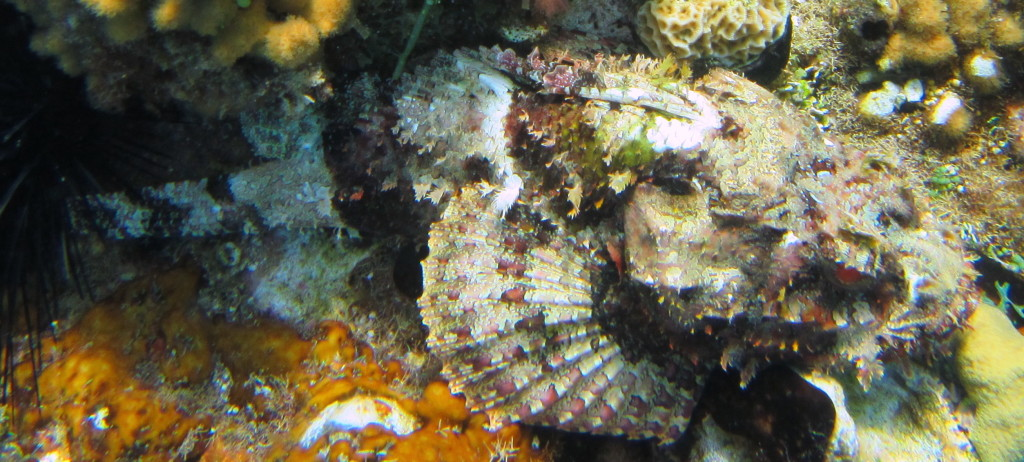 Can you spot the Spotted Scorpionfish? They can be very hard to find.
