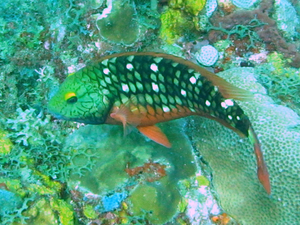 This is a young Spotlight Parrotfish.