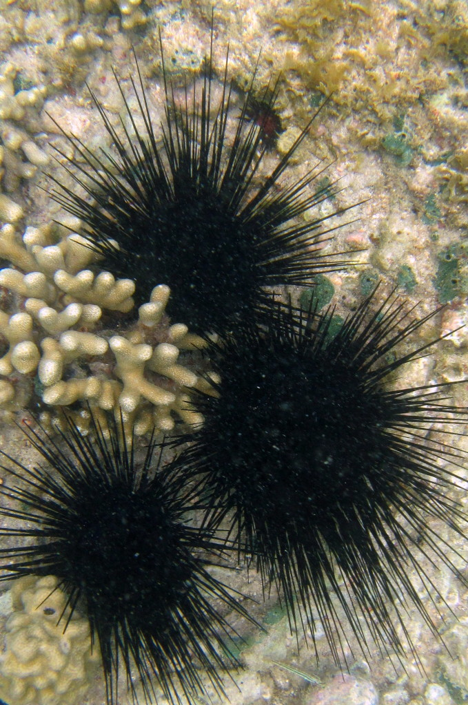 Watch out for the Long-Spined Sea Urchin. Their sharp spines hurt!